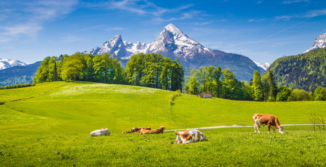 Wall Mural - Idyllic landscape in the Alps with cows grazing on green meadows in spring