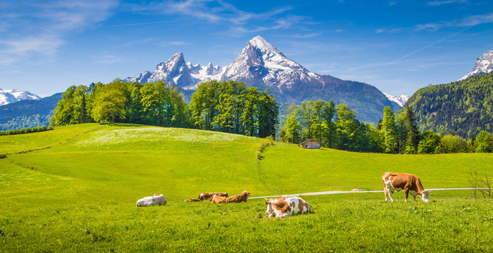 Idyllic landscape in the Alps with cows grazing on green meadows in spring
