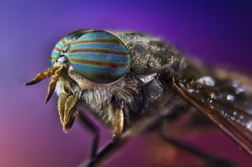 fly, horse, insect, macro, head, eye