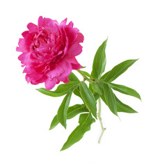 Peony isolated on white background