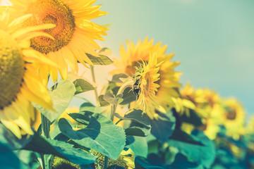 Sunflowers Field view