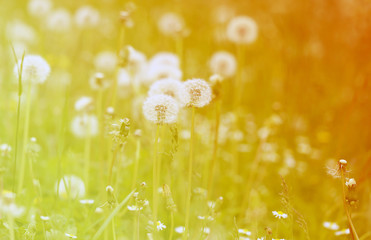 photo fluffy dandelions