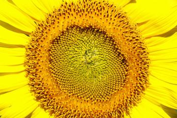 Close-up of sun flower