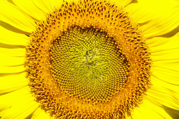 Close-up of sun flower against