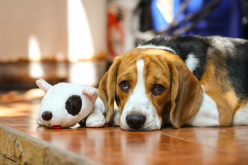Young beagle with a doll