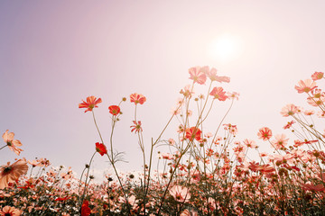Wall Mural - Pink tone of cosmos flower field. Sweet and love background - vintage color filter