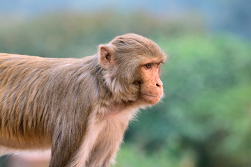 Portrait of a rhesus macaque monkey (Macaca mulatta), India.