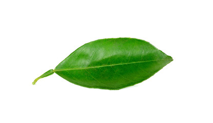 Citrus leaves isolated on a white background