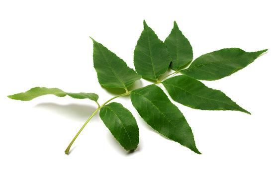 Green ash-tree leaf