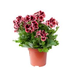 Beautiful pelargonium in a flowerpot, isolated on white background