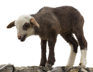 little lamb isolated