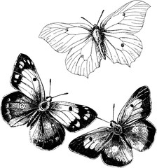 Vintage drawing butterfly
