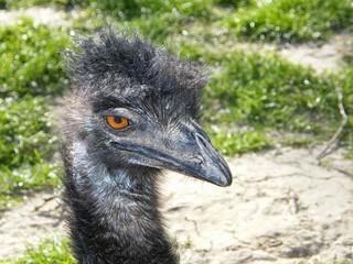 Emukopf Nahaufnahme