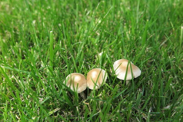 Inedible mushrooms in the fresh lawn in the summer garden