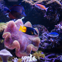 Tropical fishes swim near coral reef. Underwater life.