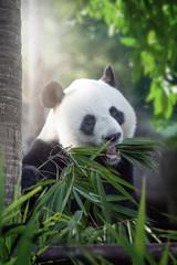 Fotobehang Panda panda