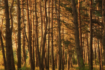 Sunlit thick pine forest (vintage style)
