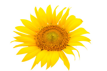 flower sunflower isolated