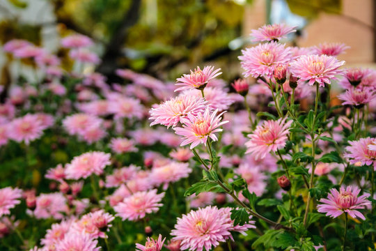 New England aster flowers in the garden oat sunrise