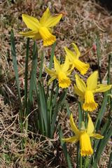 Narcissus pseudonarcissus in the park