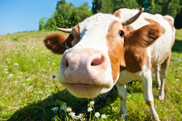 Curious cow in the meadow