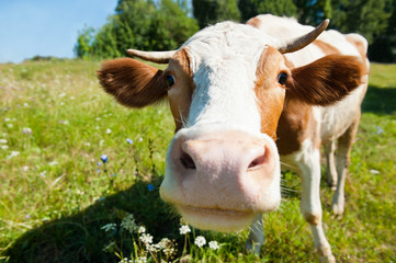 Curious cow on the meadow in summer sunny day
