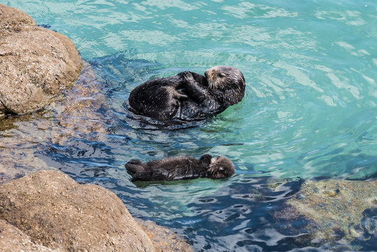 A wild mother Southern Sea Otter (Enhydra lutris) and her 1-day old newborn pup float in the water of a protected tide pool, in Monterey Bay, California.