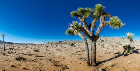 Wall Mural - Joshua Tree in in Open Desert Panorama