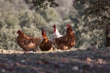 gallinas libres/ en el campo
