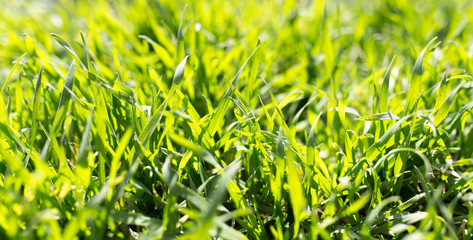 spring green grass on the nature
