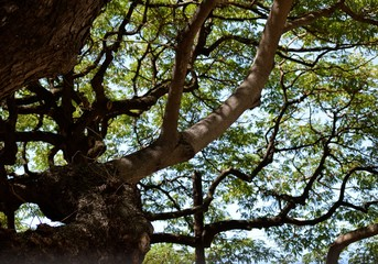 Under the Acacia Tree / Reaching out to the blue sky, this tree was  a source of medicine to the old European world.