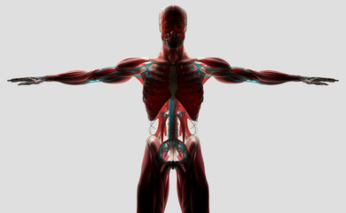 Human anatomy of front torso. Back-lit on light background.