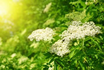 Blooming elderflower (Sambucus nigra)