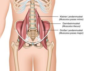 Anatomie der Hüftbeuger, Lendenmuskeln, psoas major