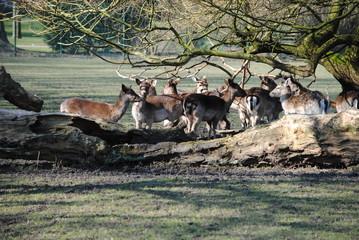 Reindeer in the Park