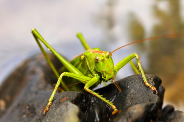 Green grasshopper on black pebbles