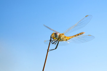 Summer dragonfly on stick and blue sky background macro close-up