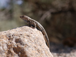 Eidechse auf einem Stein in Lone Pine