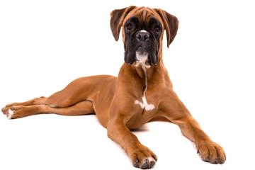 Beautiful boxer puppy Papier Peint
