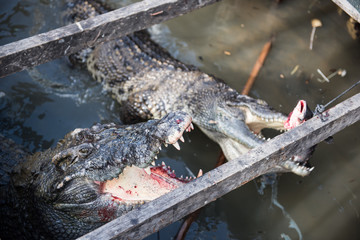 Crocodiles Busy Eating