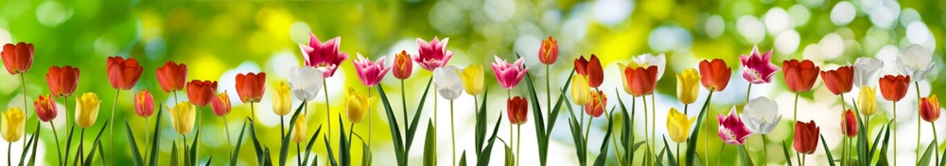 image of many tulips on a green background closeup