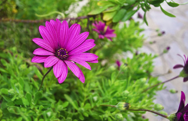 purple daisy - purple flower - margaret with green background