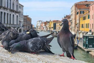 Venice e piccioni