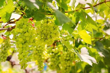 Гроздья белого винограда на ветках, время сбора урожая