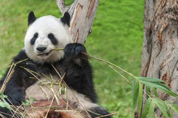 Giant panda bear eating bamboo leaf