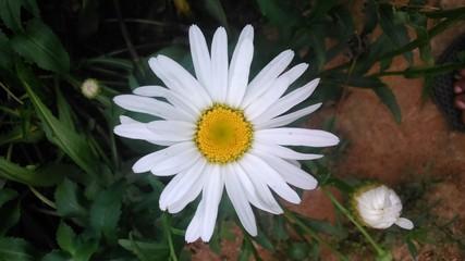 whaigt flower
