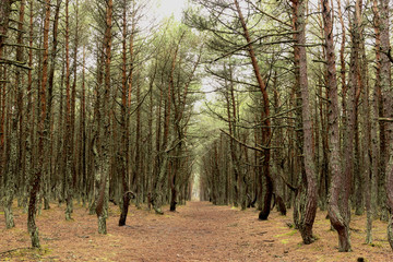 Path in the coniferous forest