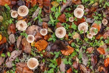 Setas, hojas secas de haya y tréboles. Dermoloma cuneifolium.