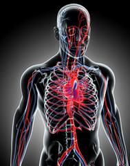 Human Internal System - Circulatory System.