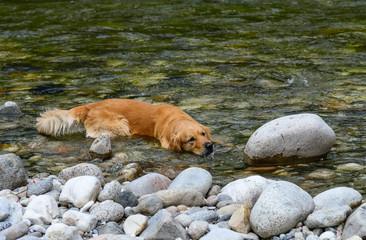 Golden Retriever  is lying in the water